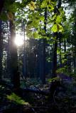 Evening Backlit Leaves