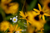 Little White Aster with Rudbackia