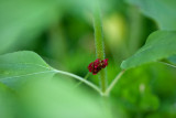 Little Red Wildflower Among Sunflower Leaves