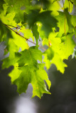 Backlit Young Maple leaves