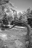 Tree Growing Bent