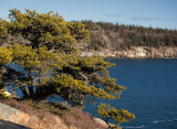 Pine Above the Water