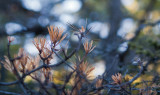 Pine Needles on Great Head Trail