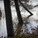 Trees in Little Long Pond Overflowed and Frozen #2