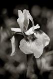 Monochrome Irises #1