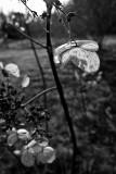Last Year's Hydrangea Bloom #1