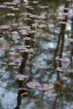 Lily Pond and Reflections #2