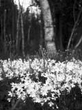 Bluets and Birch #2