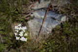 Bluets by a Rock