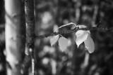 Aspen Leaves #2