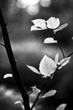 Young Aspen Leaf