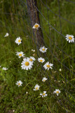 Daisy Bunch by Fencepost, take 1