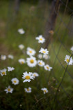 Daisy Bunch by Fencepost, take 2