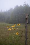 Foggy Morning Rudbackia