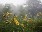Foggy Morning Lilies