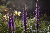 Backlit Liatris