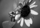 A Small Sunflower