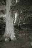 Cedar by Birch and Wall