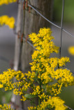 Ragweed by Fence Post
