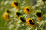 Mob of Sunflowers