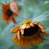 Orange Sunflower Trio