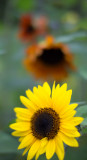 Yellow and Orange Sunflowers
