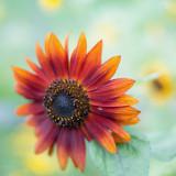 Orange Sunflower Close-up #1