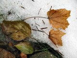 Leaves on Snow #2