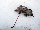 Lone Maple Leaf on Snow #2