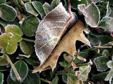 Frosted Leaf Pair in Hedge
