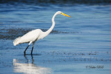 Great White Egret 01