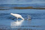 Great White Egret 02