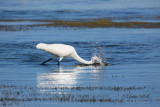 Great White Egret 03