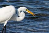 Great White Egret 04
