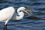 Great White Egret 05