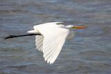 Great White Egret 06