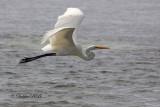 Great White Egret 07