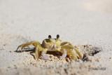 Jamiacan Sand Crab