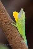 Anolis Lizard 02