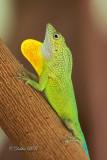 Anolis Lizard 03