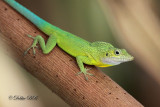 Anolis Lizard 04