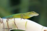 Anolis Lizard 05