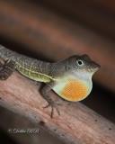 Anolis Lizard 06
