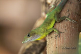Anolis Lizard 07
