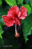 Hibiscus 03