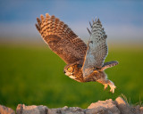 owlfly1.jpg