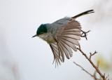 callifornia gnatcatcher
