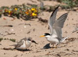least tern mom and chick