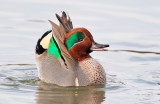 green winged teal courting