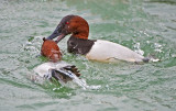 canvasbacks fight